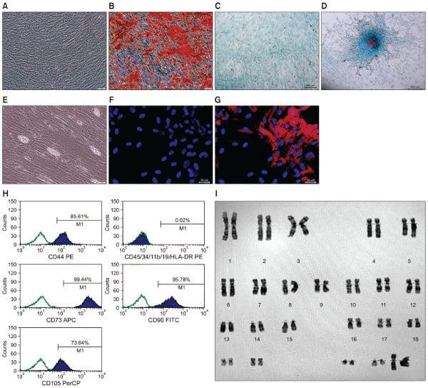 Image of mesenchymal stem cell characterization
